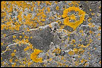 Close-up of lichen on granite, Schoodic Peninsula. Acadia National Park, Maine, USA.