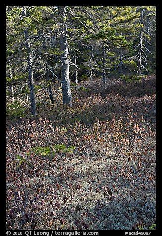 Bare berry plants and conifers, Bowditch Mountain, Isle Au Haut. Acadia National Park (color)