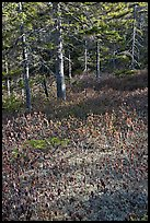 Bare berry plants and conifers, Bowditch Mountain, Isle Au Haut. Acadia National Park, Maine, USA.