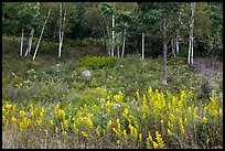 Goldenrod flowers and birch trees. Acadia National Park, Maine, USA.