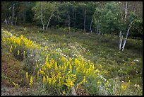 Summer meadow with wildflowers at forest edge. Acadia National Park, Maine, USA.