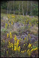 Goldenrods and birches. Acadia National Park, Maine, USA.