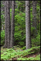 Pines and ferns. Acadia National Park, Maine, USA. (color)
