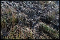Close-up of grasses. Acadia National Park ( color)