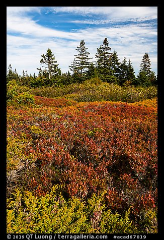 Berry plants and spruce in autumn, Little Moose Island. Acadia National Park (color)