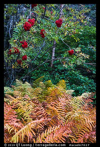 Ferns and tree with berries. Acadia National Park (color)