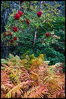 Ferns and tree with berries. Acadia National Park ( color)