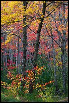 Trees in bright autumn foliage. Acadia National Park ( color)