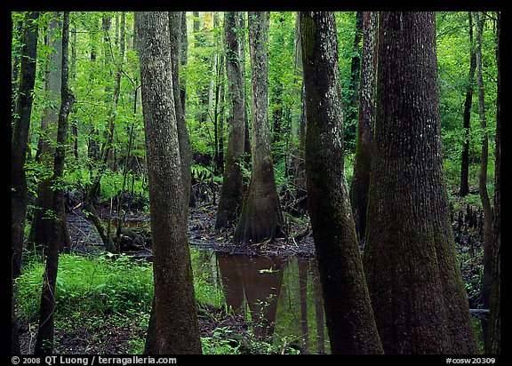Swamp with bald Cypress and tupelo in summer. Congaree National Park (color)