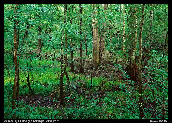New undercanopy growth in summer. Congaree National Park (color)