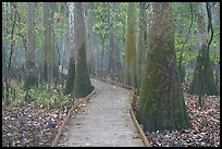 Boardwalk snaking between giant cypress trees in misty weather. Congaree National Park, South Carolina, USA. (color)
