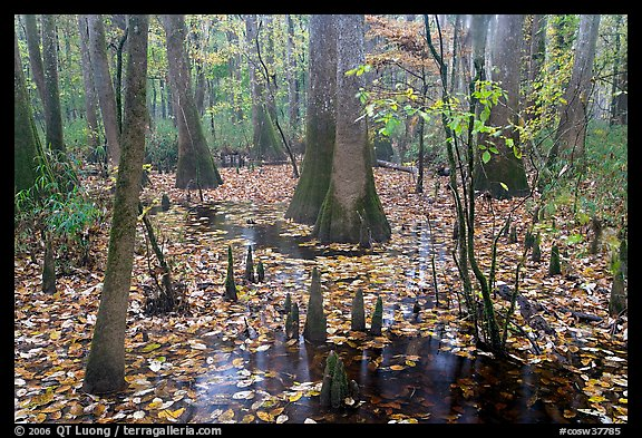 Cypress and knees in slough with fallen leaves. Congaree National Park, South Carolina, USA.