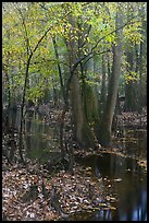 Trees with fall color in slough. Congaree National Park, South Carolina, USA.