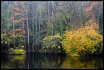 Cypress trees and autumn colors, Weston Lake. Congaree National Park, South Carolina, USA.