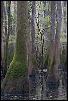 Young tree growing in swamp amongst old growth cypress and tupelo. Congaree National Park, South Carolina, USA.