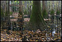 Cypress knees and trunks in swamp. Congaree National Park, South Carolina, USA.