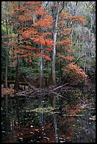 Bald cypress in fall colors and dark waters. Congaree National Park, South Carolina, USA. (color)