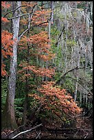 Spanish moss and cypress needs in fall colors. Congaree National Park, South Carolina, USA.