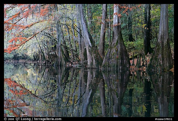 Cypress trees with branch in fall color reflected in dark waters of Cedar Creek. Congaree National Park (color)