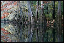 Cypress trees with branch in fall color reflected in dark waters of Cedar Creek. Congaree National Park, South Carolina, USA.