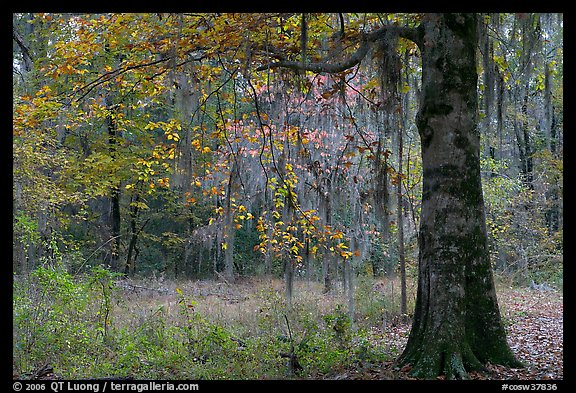 Tree with leaves in autum colors. Congaree National Park (color)