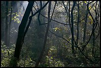 Vines and sunlit mist. Congaree National Park, South Carolina, USA. (color)