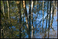 Cypress trees reflected in swamp. Congaree National Park, South Carolina, USA.