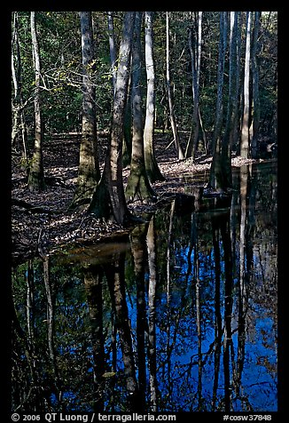 Trees trunks and reflections. Congaree National Park (color)