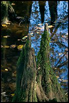 Cypress knees and creek. Congaree National Park, South Carolina, USA. (color)