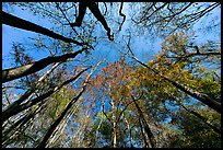 Floodplain forest canopy in fall color. Congaree National Park, South Carolina, USA. (color)