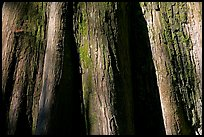 Close-up of buttressed base of bald cypress. Congaree National Park, South Carolina, USA.