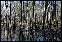 Floodplain trees growing out of swamp on a sunny day. Congaree National Park, South Carolina, USA.
