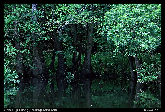Bald cypress in summer. Congaree National Park, South Carolina, USA.