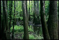 Cypress and swamp in summer. Congaree National Park, South Carolina, USA.