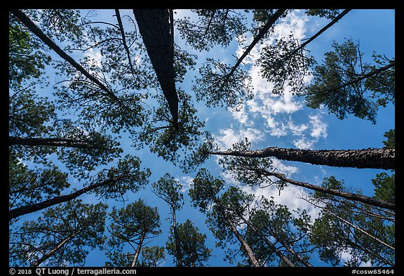 Looking up pine forest. Congaree National Park (color)