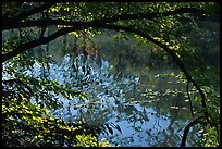 Arching tree and reflection on Kendall Lake. Cuyahoga Valley National Park, Ohio, USA.