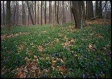 Myrtle flowers on forest floor in early spring, Brecksville Reservation. Cuyahoga Valley National Park, Ohio, USA.