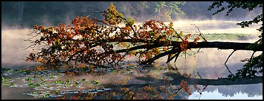 Fallen tree in lake with mist raising. Cuyahoga Valley National Park (Panoramic color)