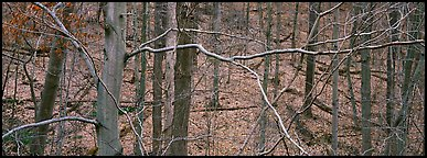 Criss-crossing branches in bare forest. Cuyahoga Valley National Park (Panoramic color)