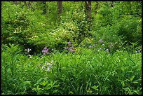 Wildflowers and blooms in summer. Cuyahoga Valley National Park ( color)