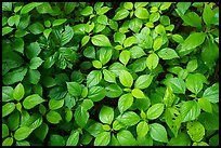 Close-up of undergrowth leaves, Bedford Reservation. Cuyahoga Valley National Park ( color)