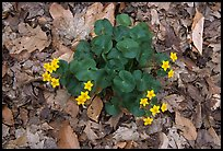 Close up of Marsh Marigold (Caltha palustris) growing amidst fallen leaves. Cuyahoga Valley National Park ( color)
