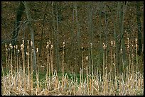 Cattails and trees, early spring. Cuyahoga Valley National Park ( color)