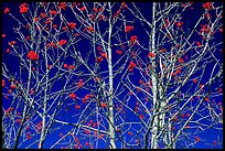 Bare trees, red Mountain Ash berries, blue sky, North Carolina. Great Smoky Mountains National Park, USA.