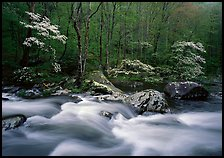 Three dogwoods with blossoms, boulders, flowing water, Middle Prong of the Little River, Tennessee. Great Smoky Mountains National Park ( color)