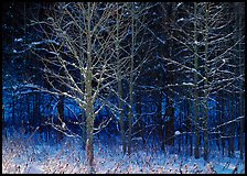Bare trees in winter, early morning, Tennessee. Great Smoky Mountains National Park ( color)
