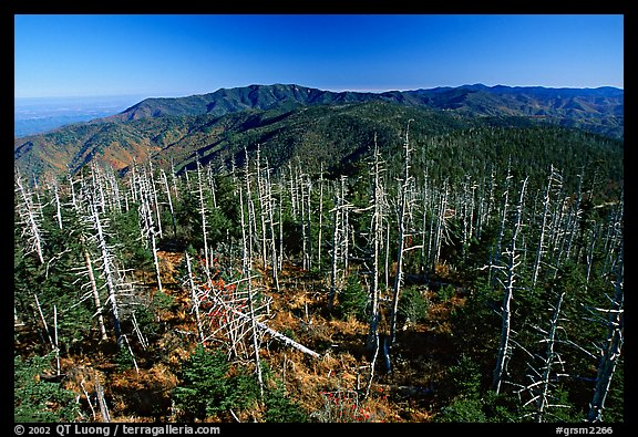 Fraser firs killed by balsam woolly adelgid insects on top of Clingman's dome, North Carolina. Great Smoky Mountains National Park, USA.