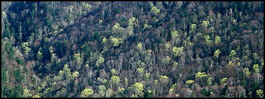 Hillside with mix of bare trees and newly leafed trees in spring. Great Smoky Mountains National Park (Panoramic color)