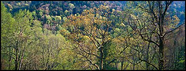 Trees with new leaves and hillside. Great Smoky Mountains National Park (Panoramic color)