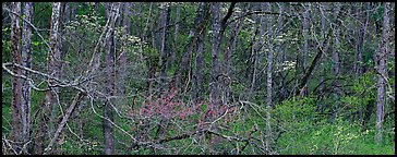 Spring forest scene with trees in bloom. Great Smoky Mountains National Park (Panoramic color)